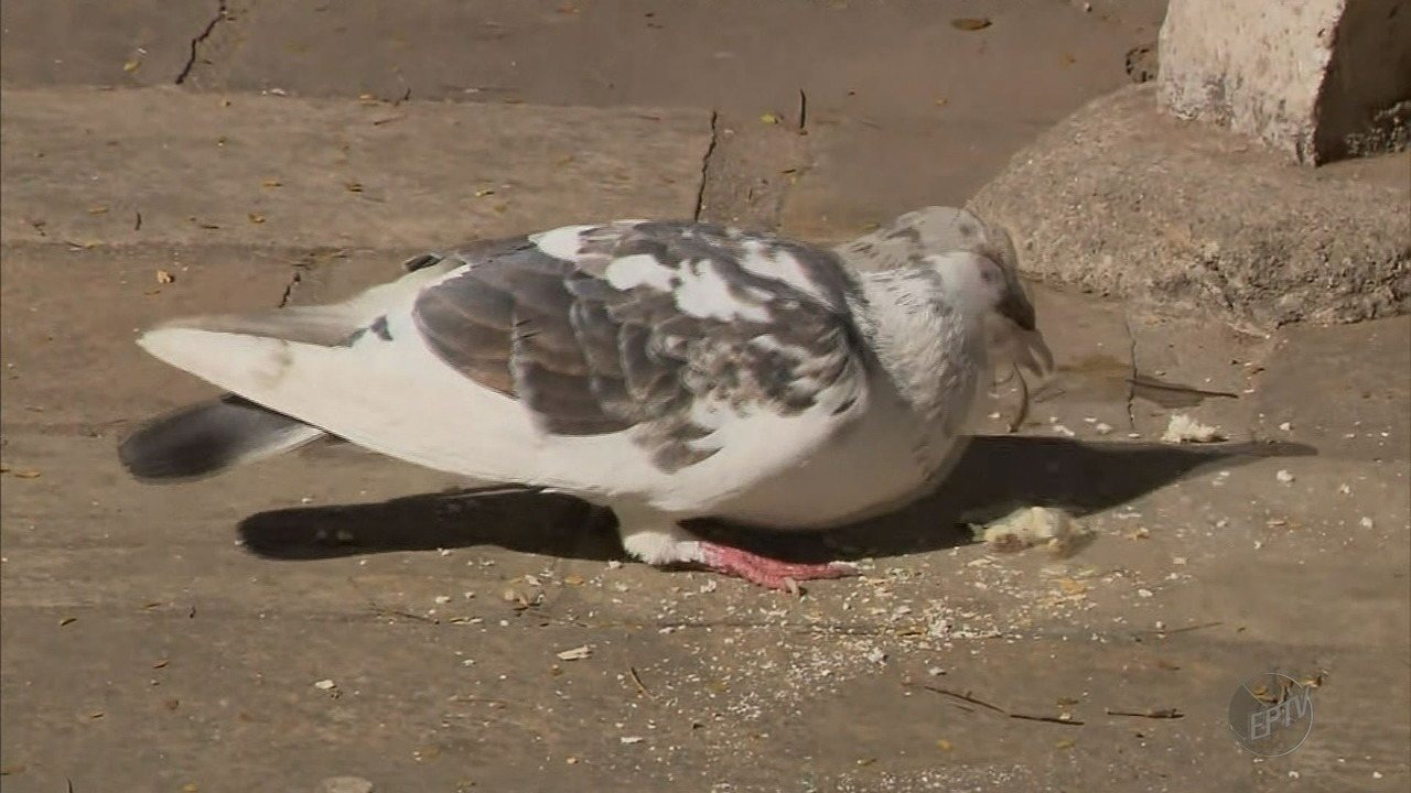 Lei municipal proíbe alimentar pombos em São Lourenço (MG)