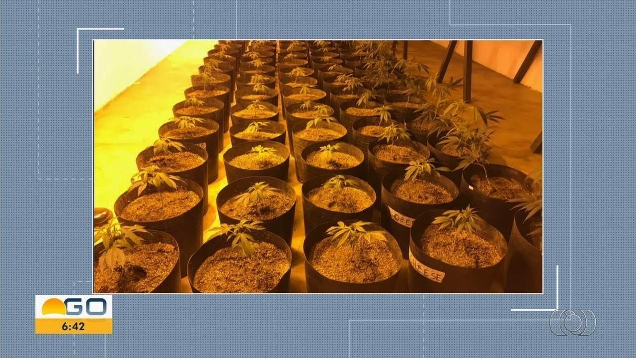 Polícia encontra plantação de 'supermaconha' em estufa climatizada, em Padre Bernardo