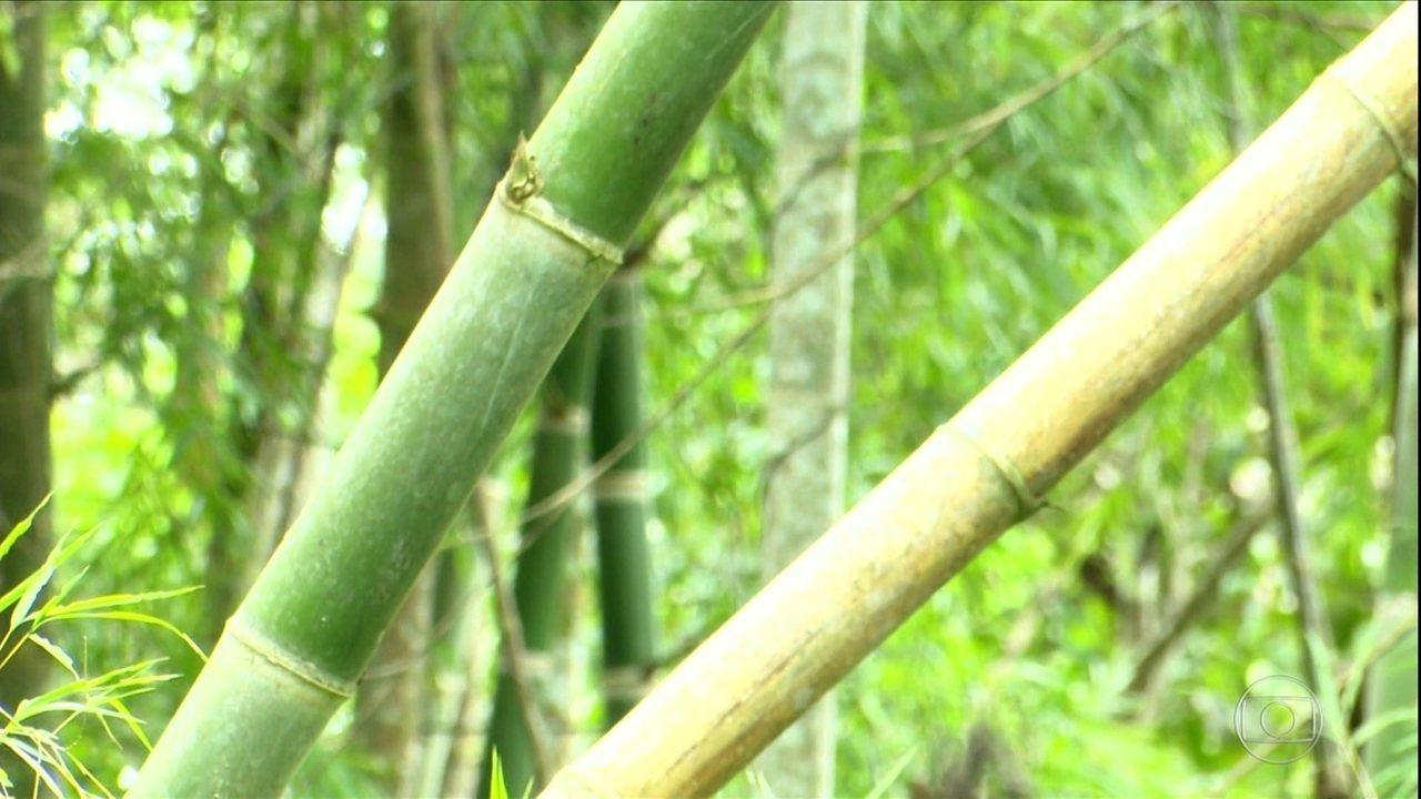 Projeto quer incentivar cultivo do bambu no sul da Amazônia