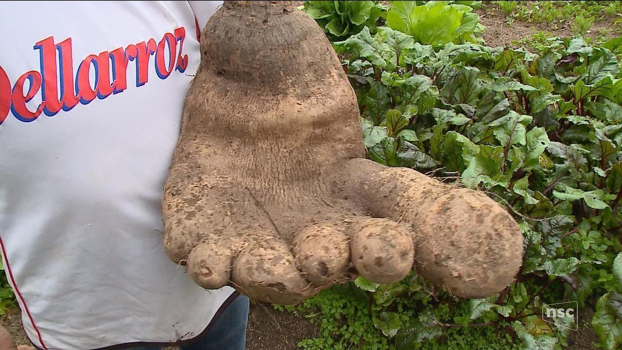 Casal de SC colhe batata de 8 kg com formato de pé