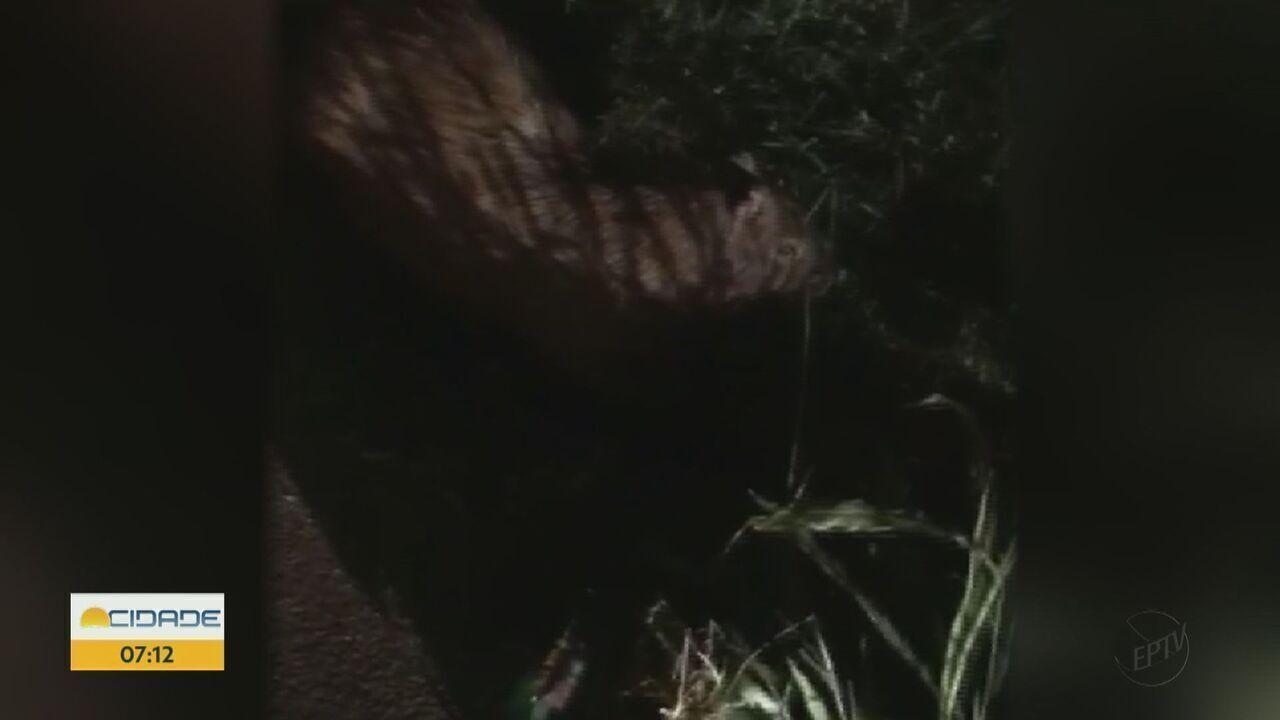 Motorista atropela capivara em rotatória de São Carlos