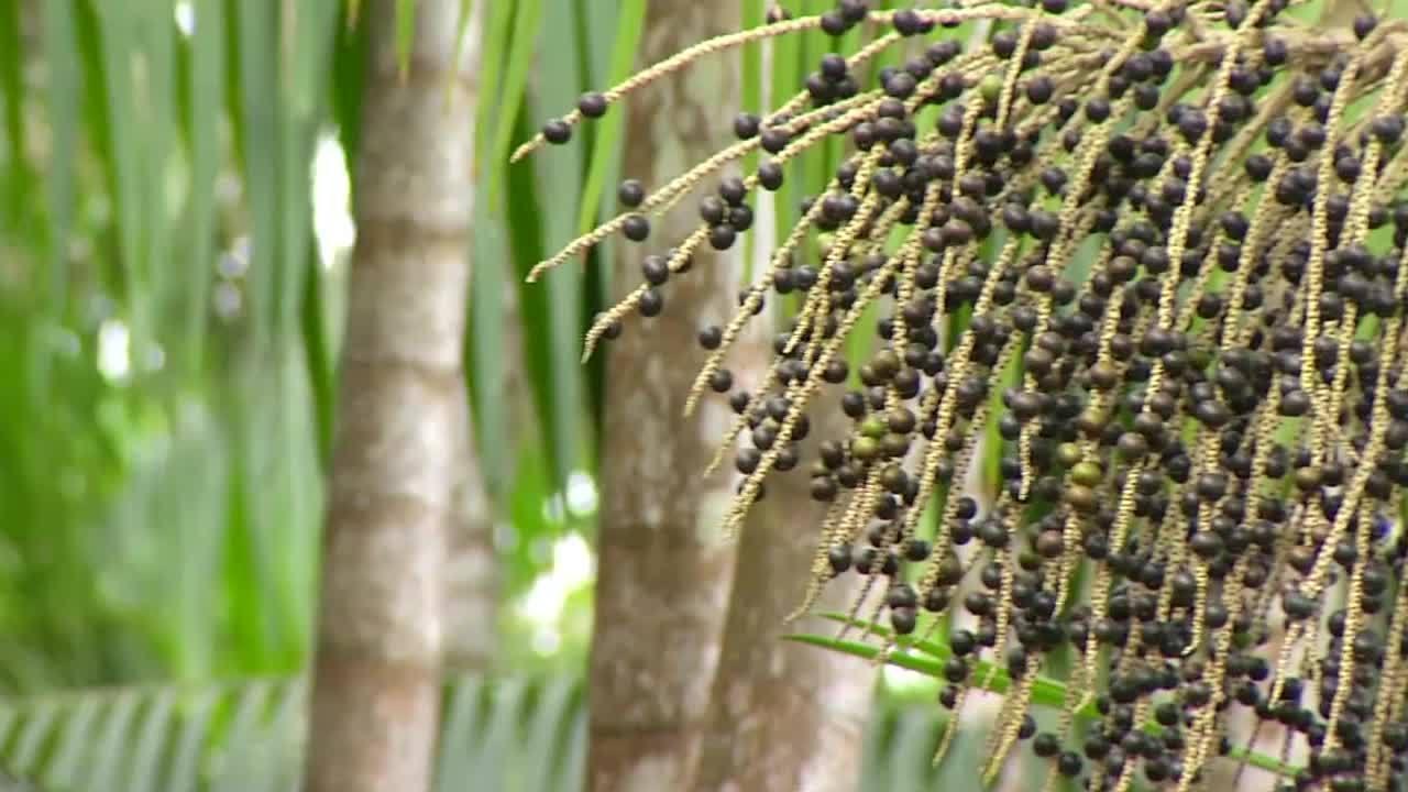 O É do Pará mostra que o açaí alimenta e garante a renda de muitos paraenses