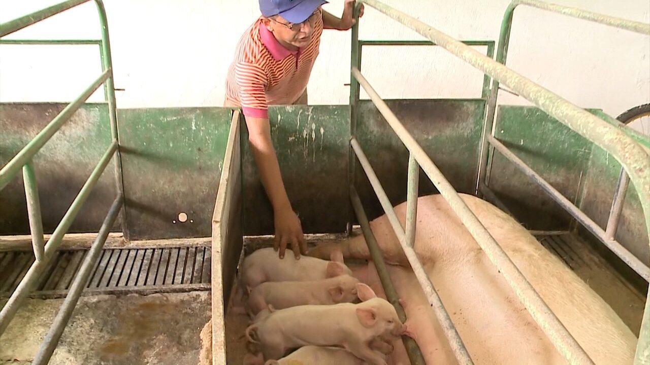 Saiba quais cuidados tomar com uma criação de suínos