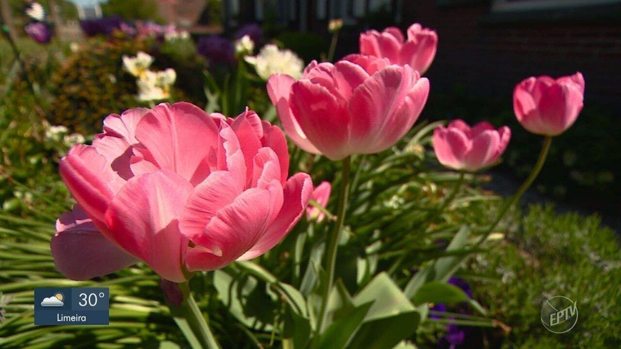 Série Raízes: Paixão holandesa transforma Holambra na capital de produção de flores