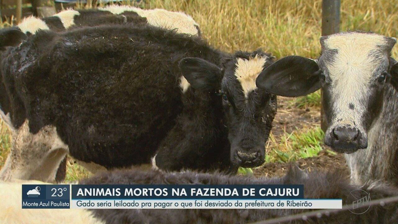 Gado que seria leiloado para ressarcir desvio de R$ 45 milhões é achado morto em Cajuru