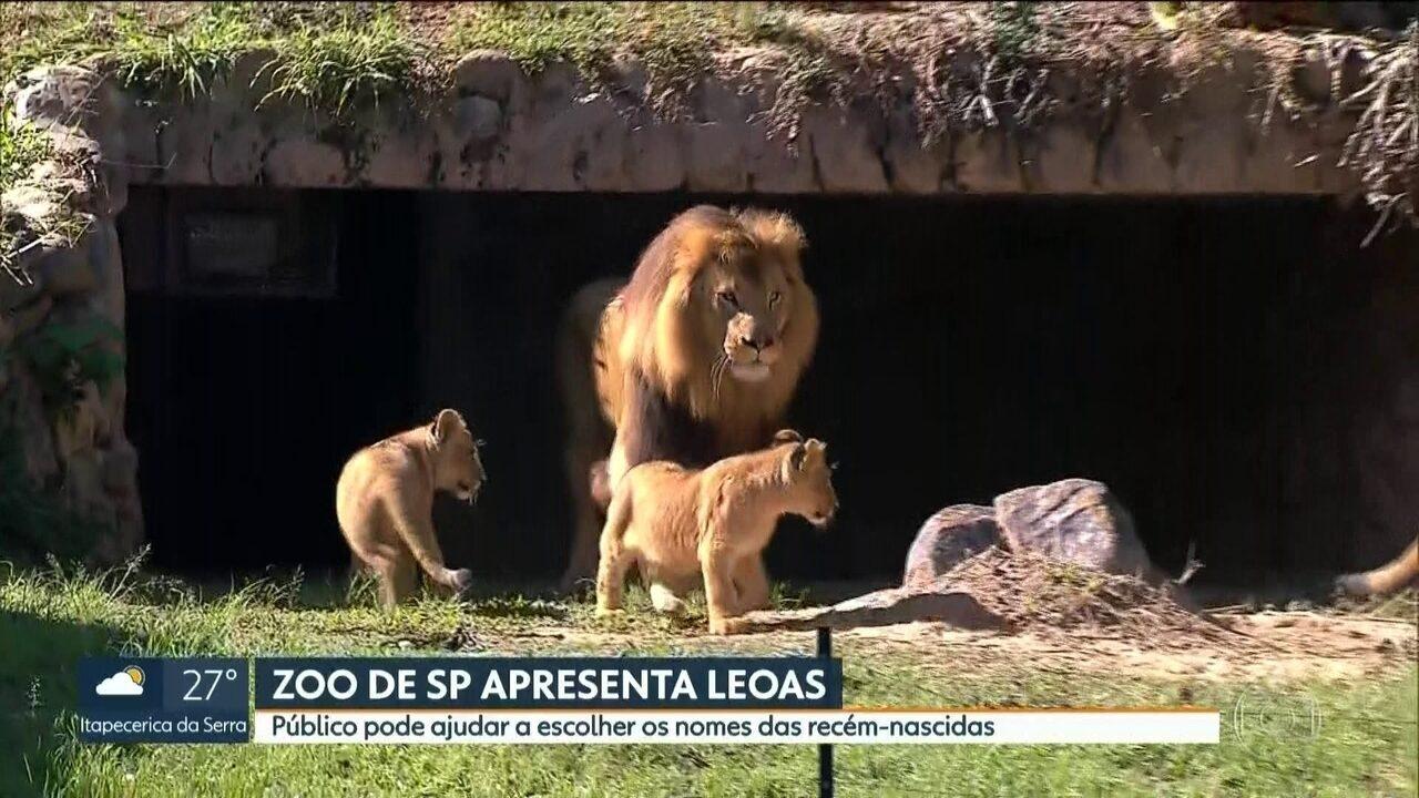 Duas leoas recém nascidas são apresentadas ao público no Zoológico de São Paulo