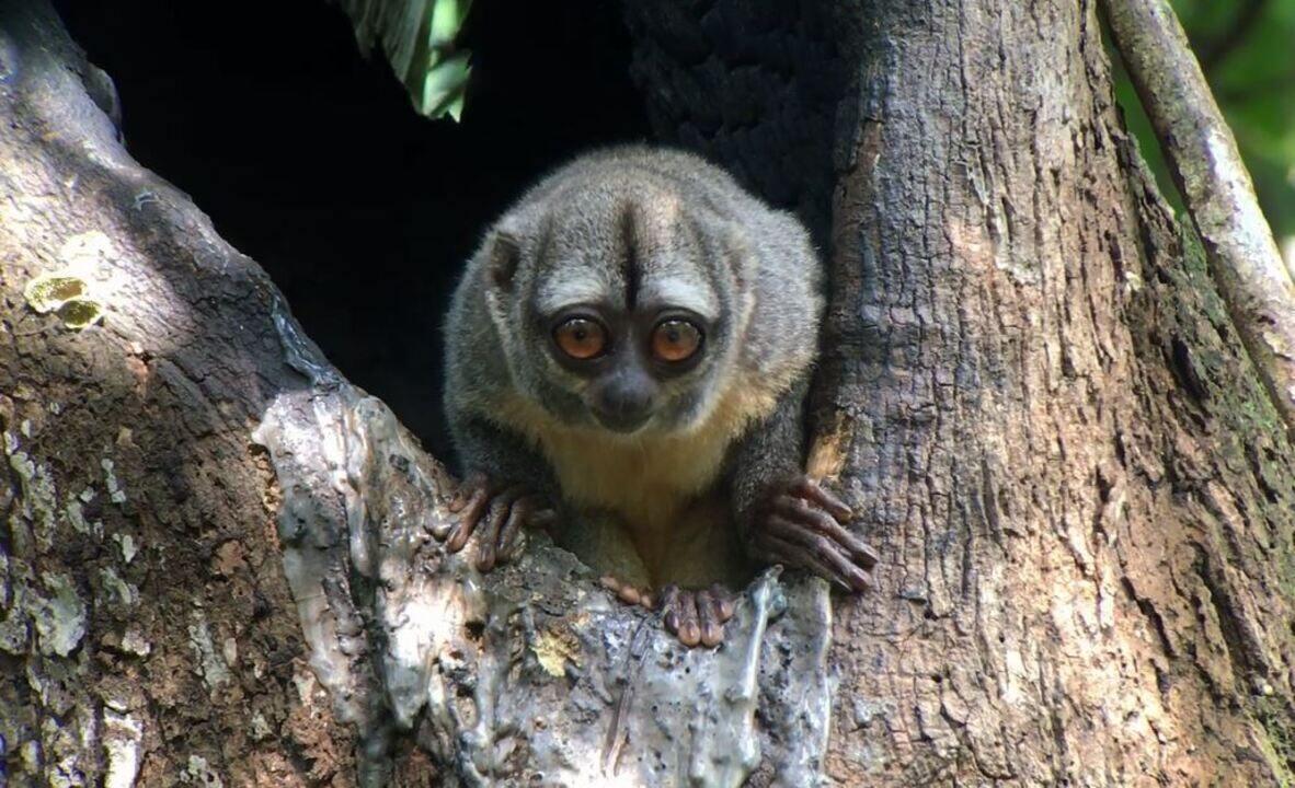 Olhos do macaco-da-noite colaboram para hábitos noturnos da espécie
