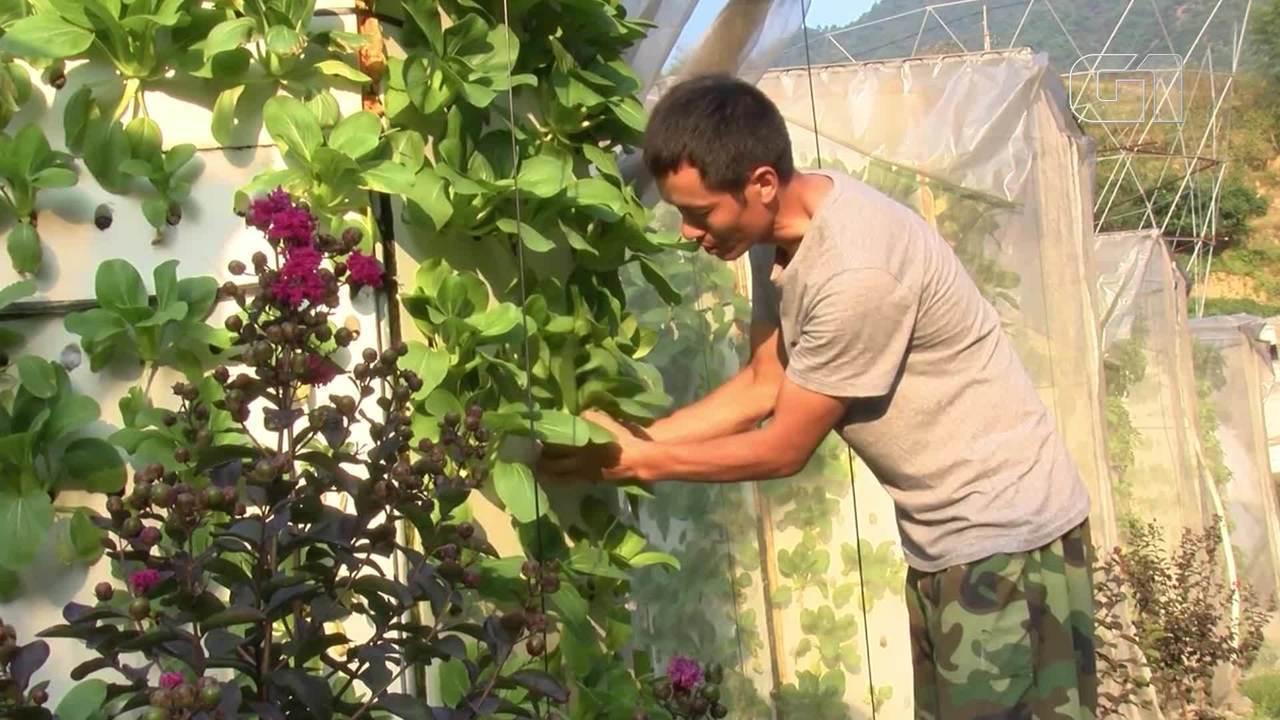 Verduras são cultivadas em plantação vertical na China