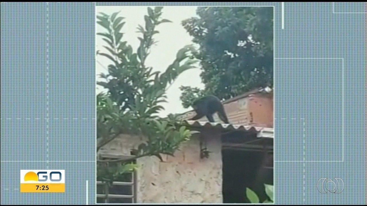Macaco passeia por casas e assusta moradores de Anápolis