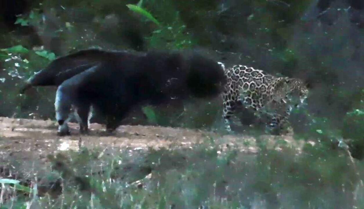 Flagrante mostra tamanduá enfrentando onça-pintada