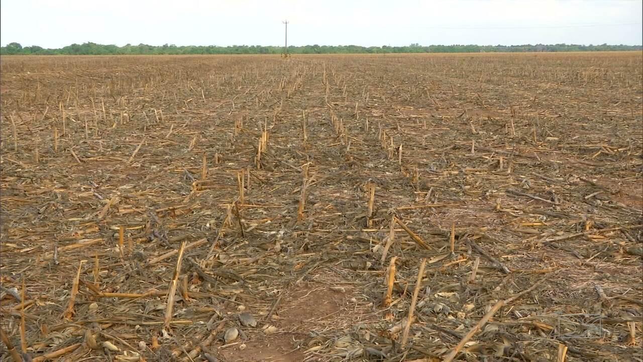 Agricultores usam período da chuva para semear soja no MA
