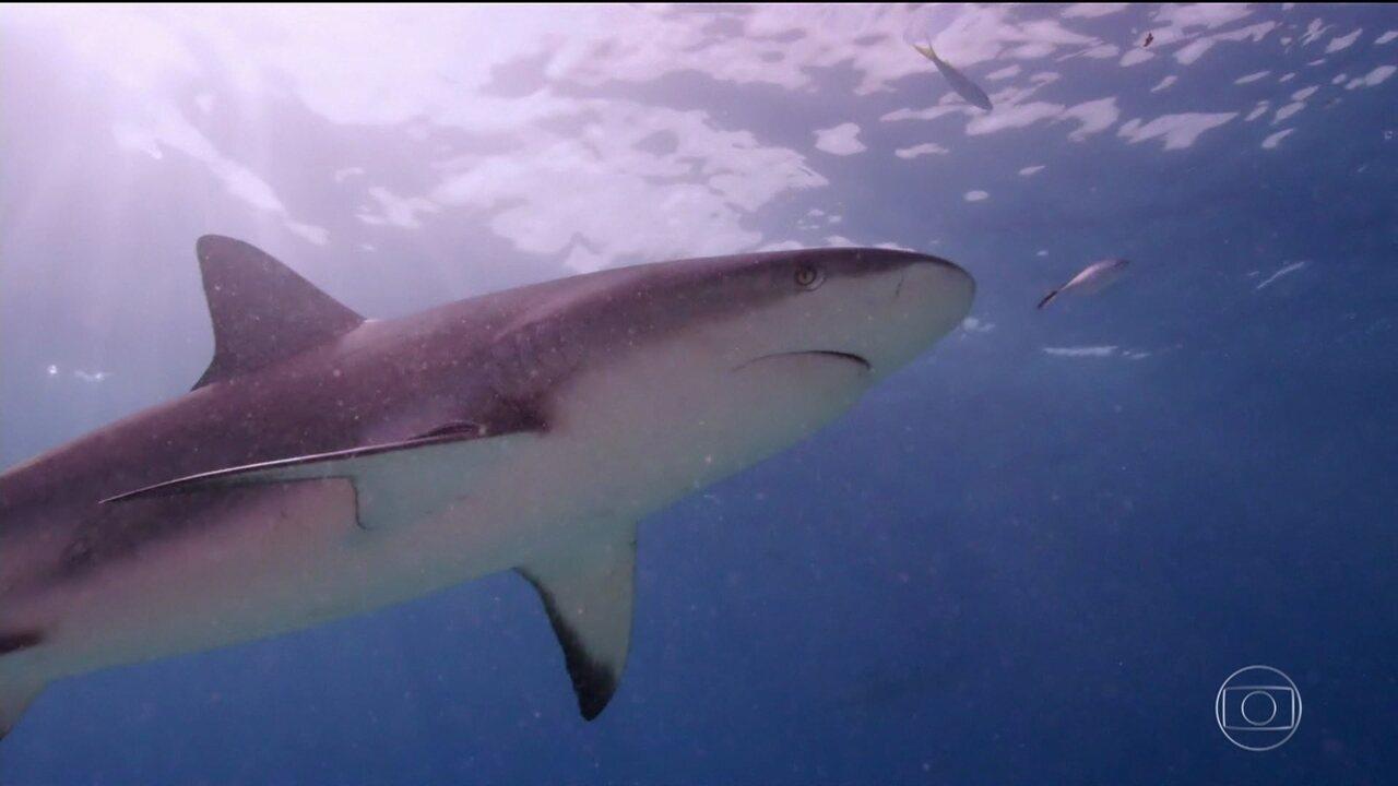 Domingão Aventura: Cristian Dimitrius mostra diversos tipos de tubarões