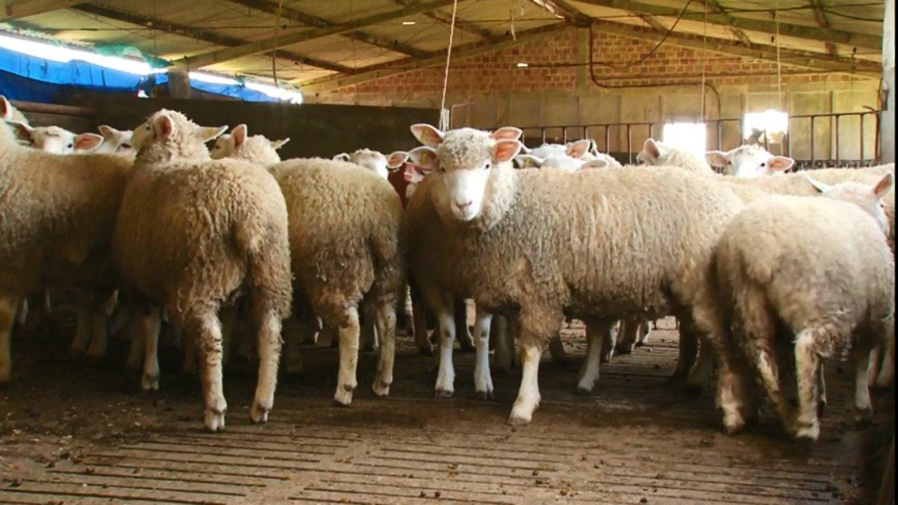 Mercado de cordeiro em alta atrai investimento de produtores