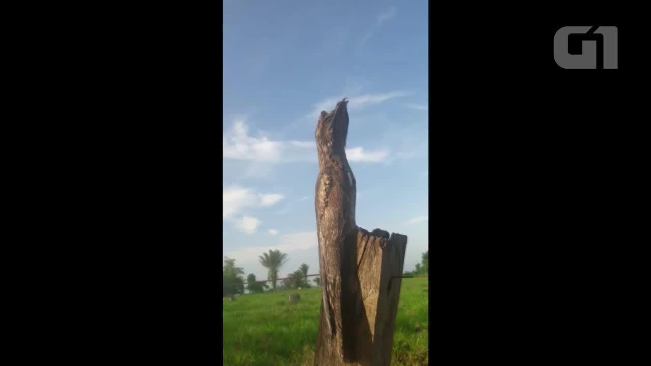 Urutau, ave ameaçada de extinção é filmada em Rondônia