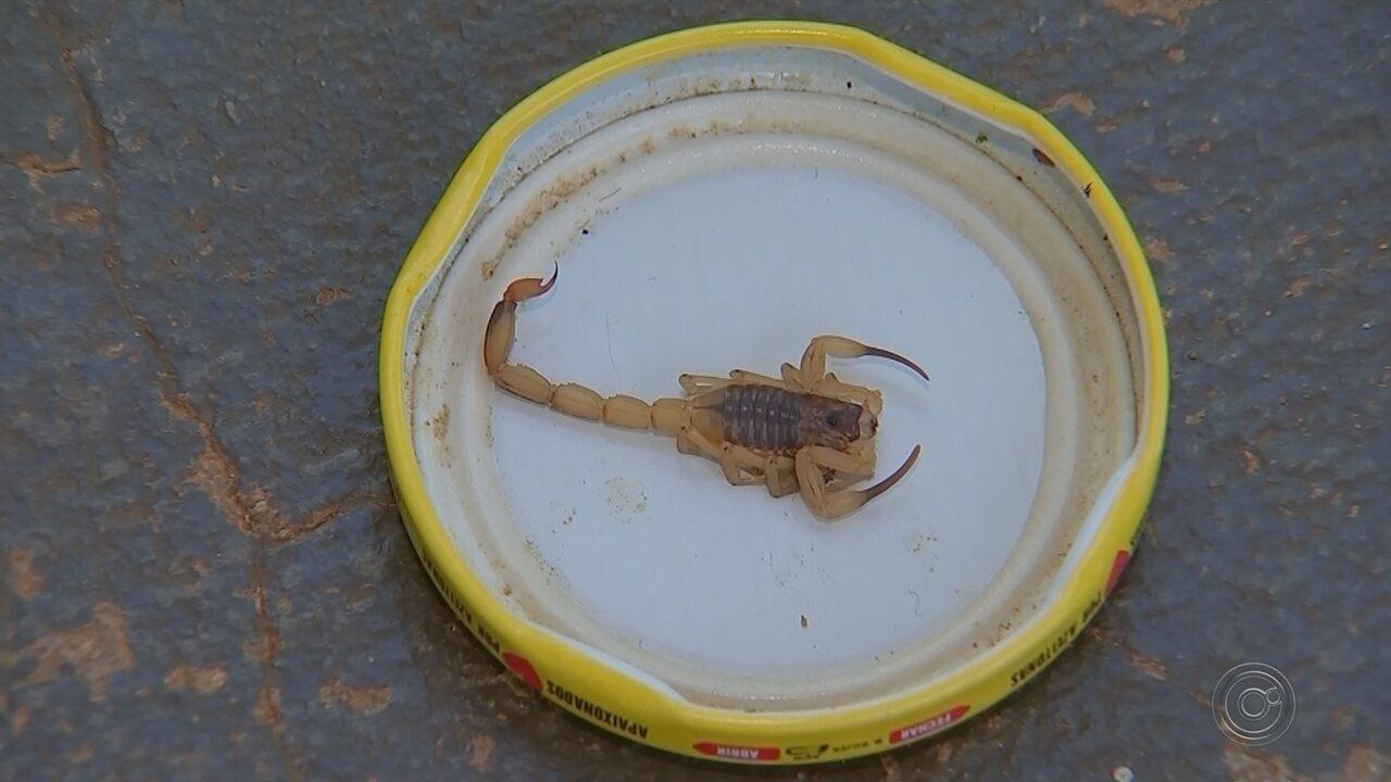 Quatro dias após morte na região, criança é picada por escorpião em Bauru