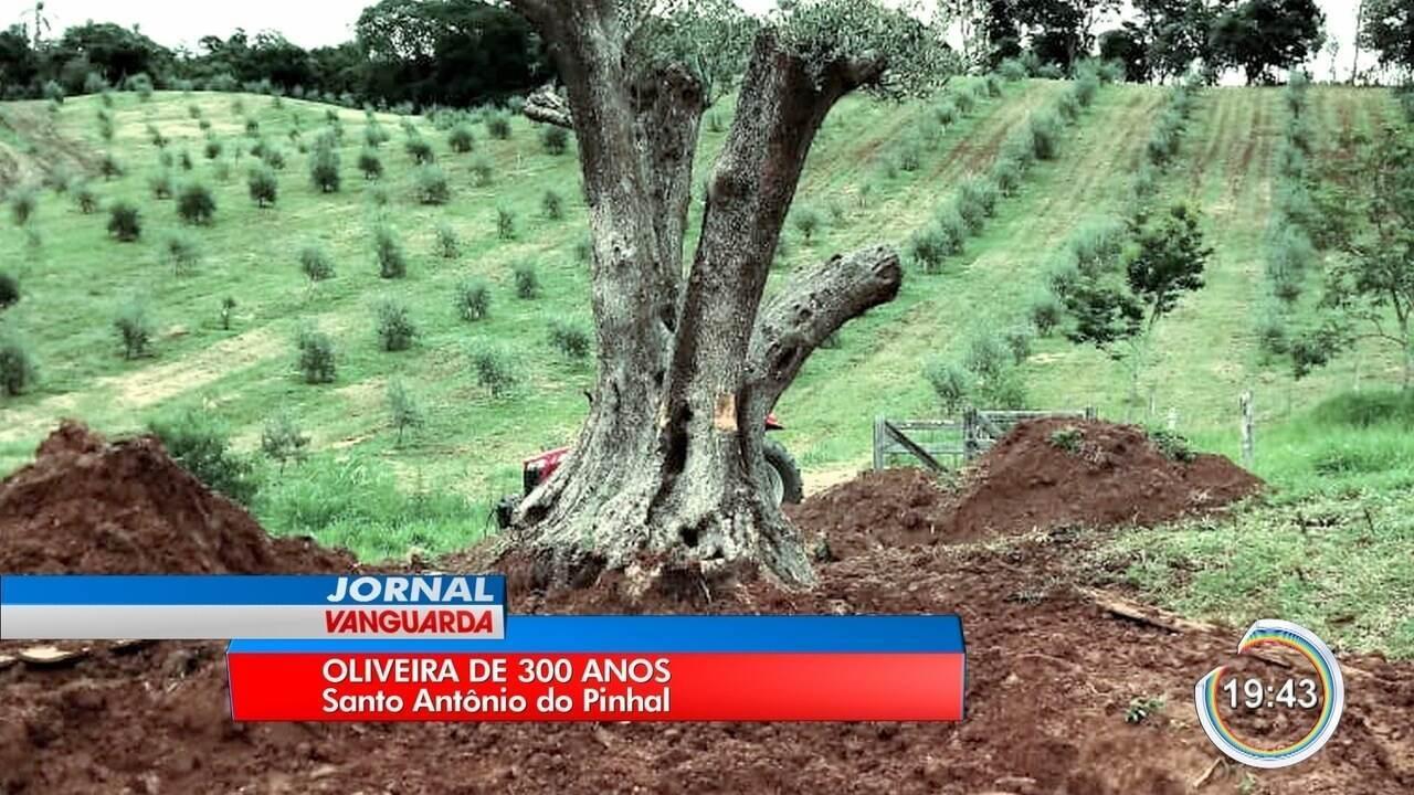 Árvore de 300 anos foi transportada do Uruguai até Santo Antônio para produção de azeite