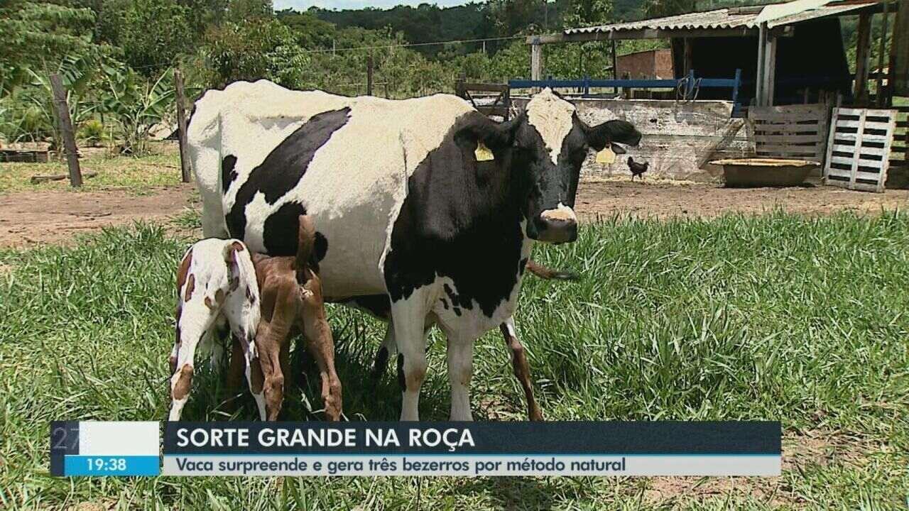 Vaca surpreende e gera três bezerros por método natural em Descalvado