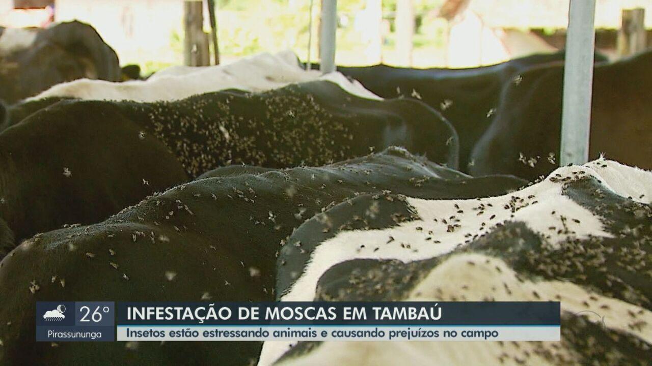 Infestação de moscas estressam animais e causam prejuízos no campo em Tambaú