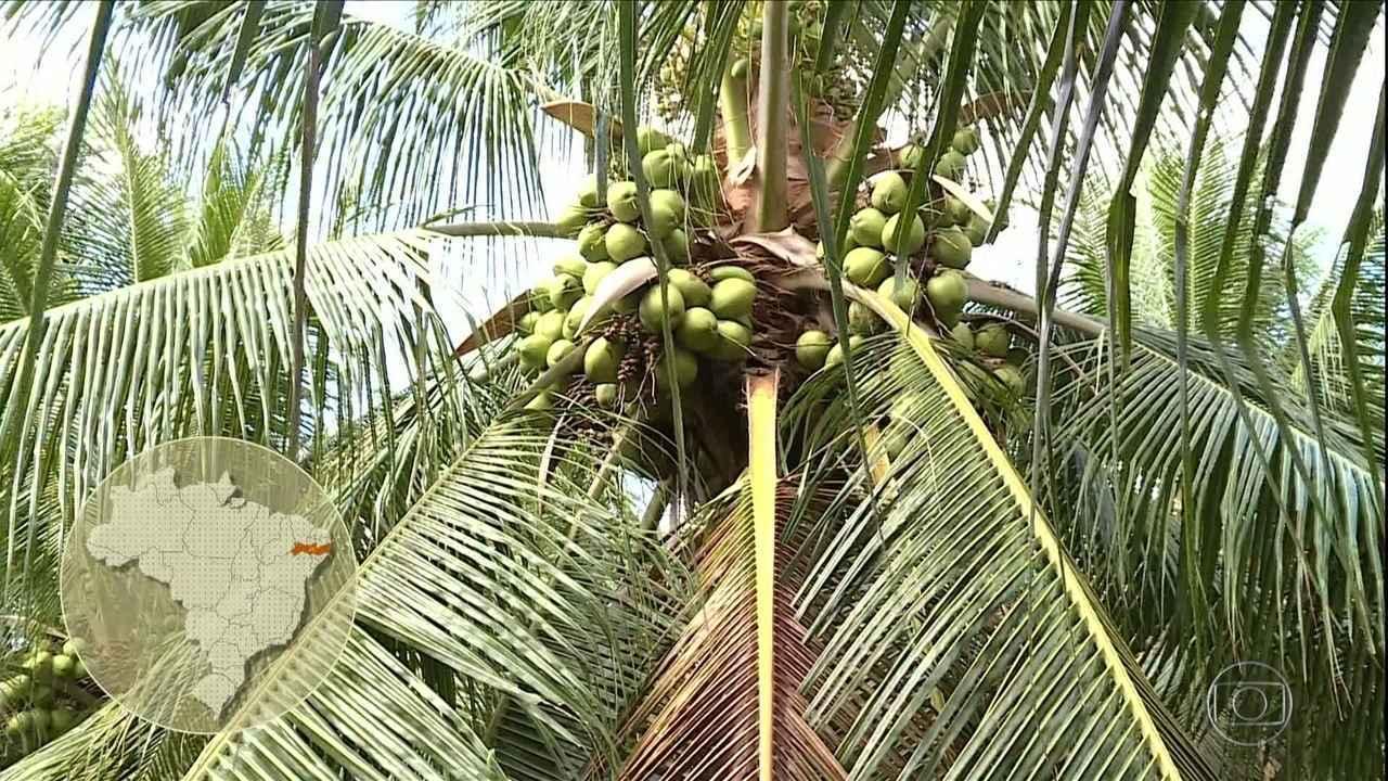 Verão faz aumentar venda de coco em Pernambuco