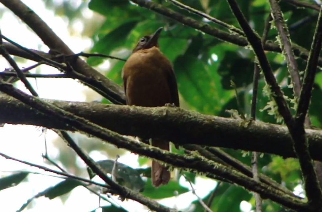 Vídeo gravado em 2010 mostra comportamento de ave extinta