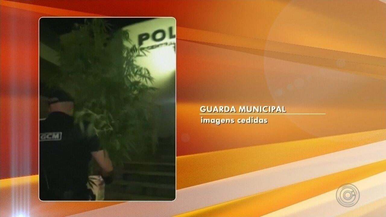 Jovem é preso após plantar pé de maconha em casa