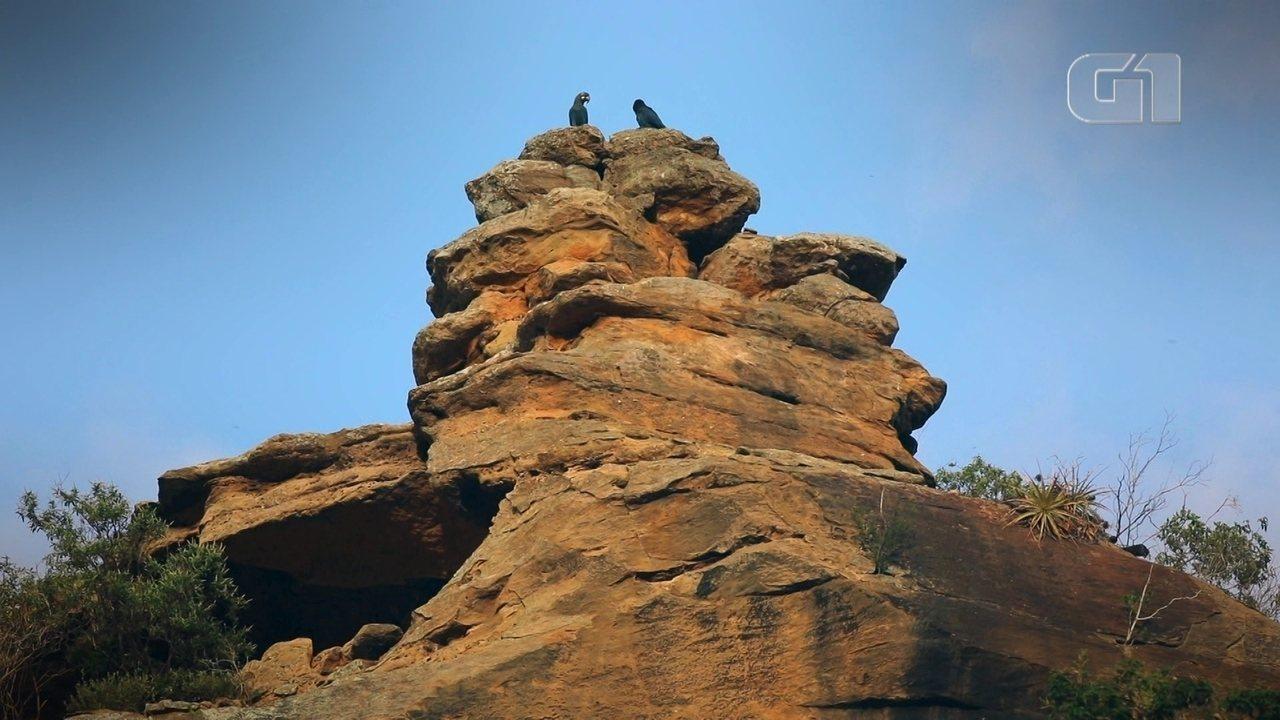Retorno de arara quase extinta na caatinga mostra os desafios da conservação de espécies