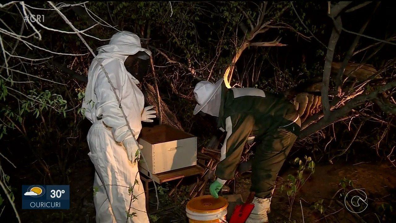 Projeto 'SOS Abelhas' retira colmeias que oferecem risco à população, em Petrolina