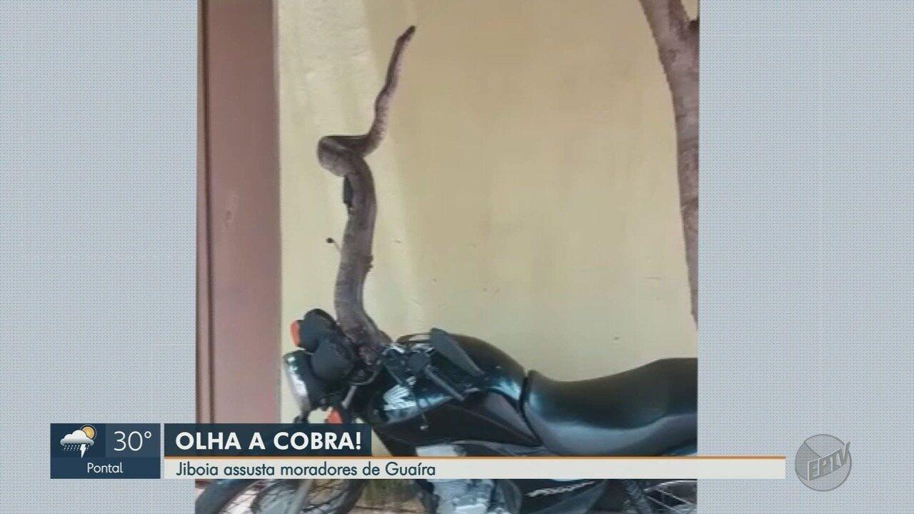 Homem encontra jiboia na calçada de casa em Guaíra, SP
