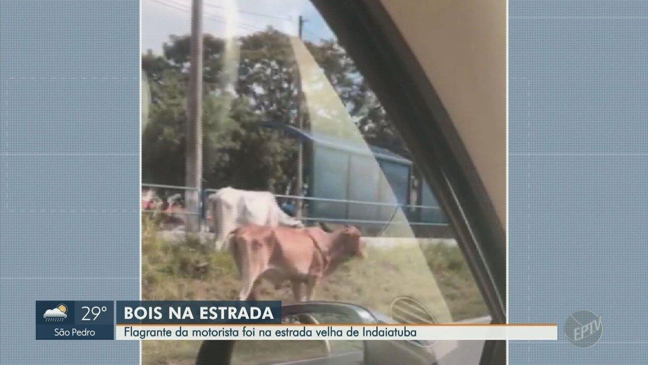 Motoristas flagram bois na Estrada Velha de Indaiatuba, em Campinas