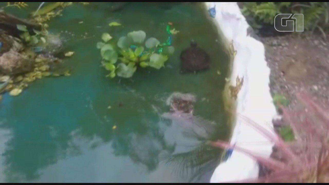 Tartarugas estão sendo cuidadas em fonte de escola em Ilha Comprida, SP