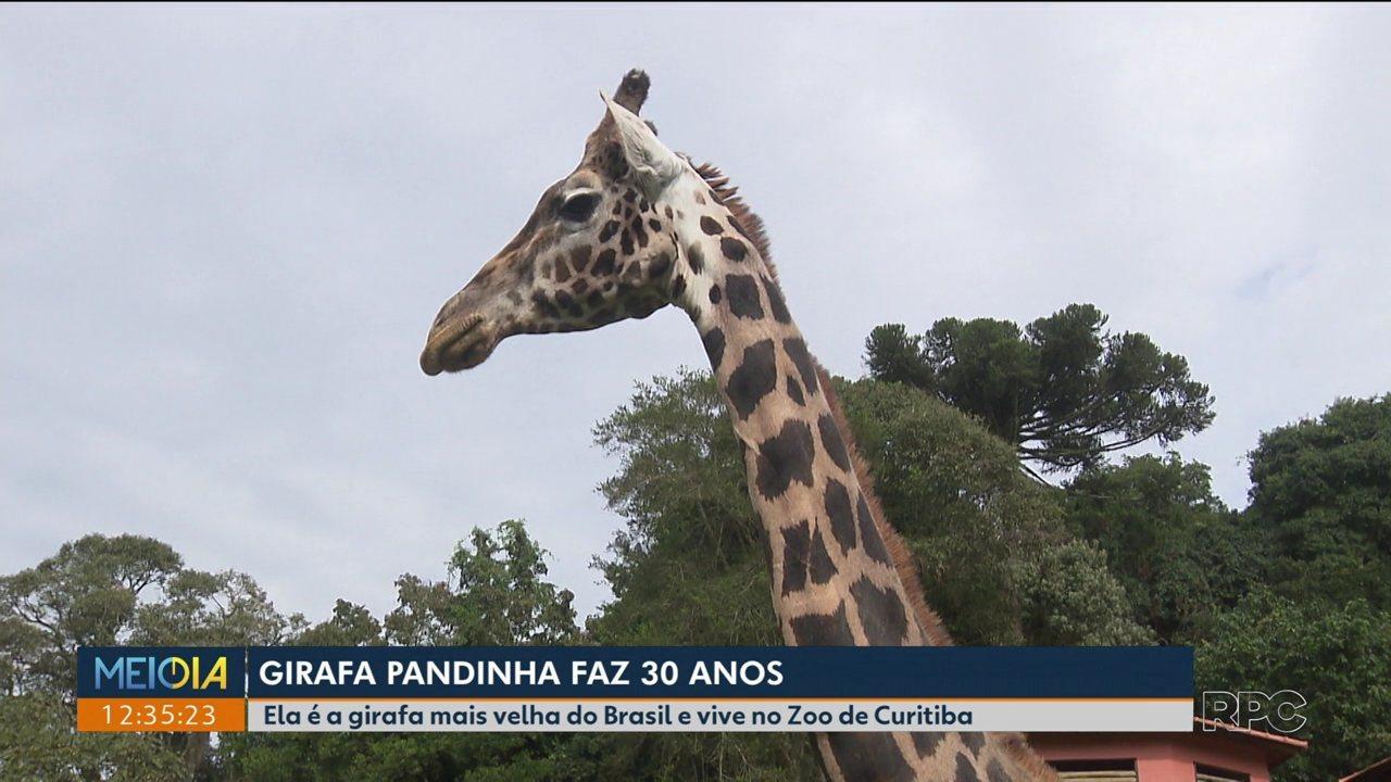 Pandinha, a girafa mais velha do Brasil faz 30 anos