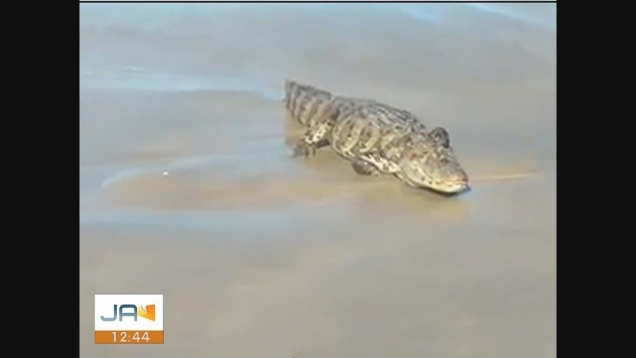 Jacaré é encontrado em praia de Laguna