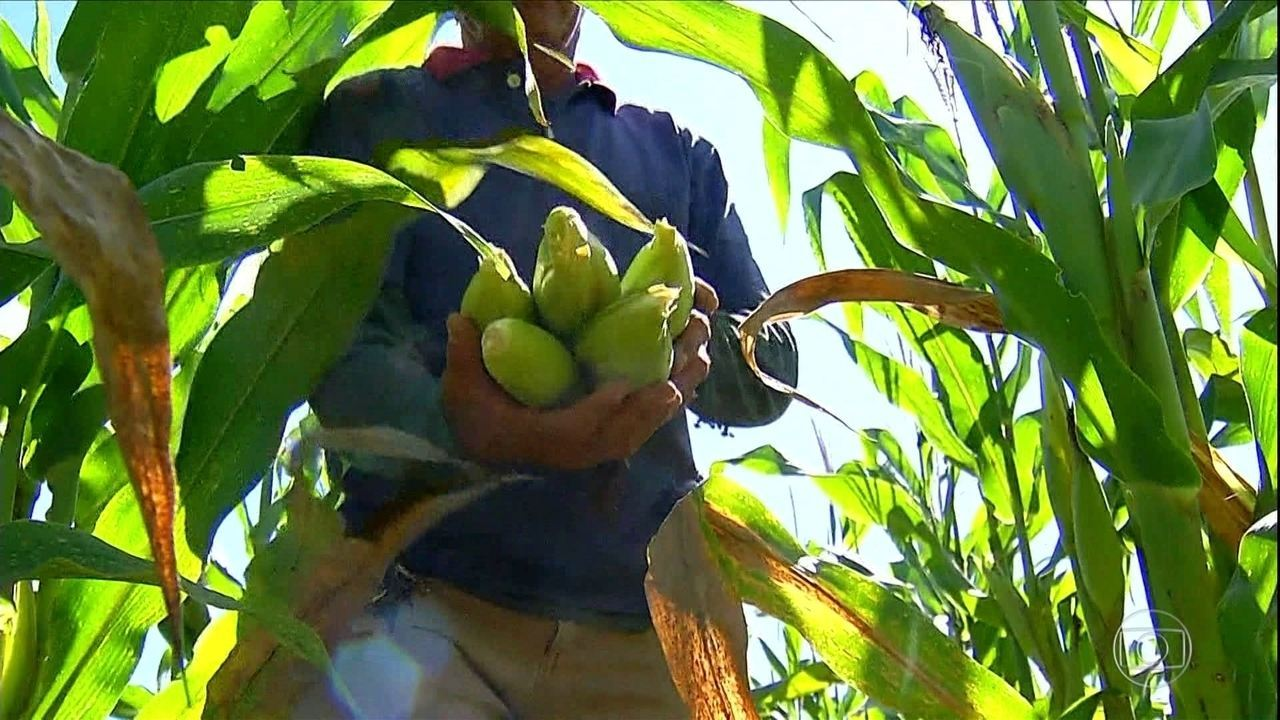 Chuva ajuda e produtores de milho no Nordeste comemoram colheita na época de São João