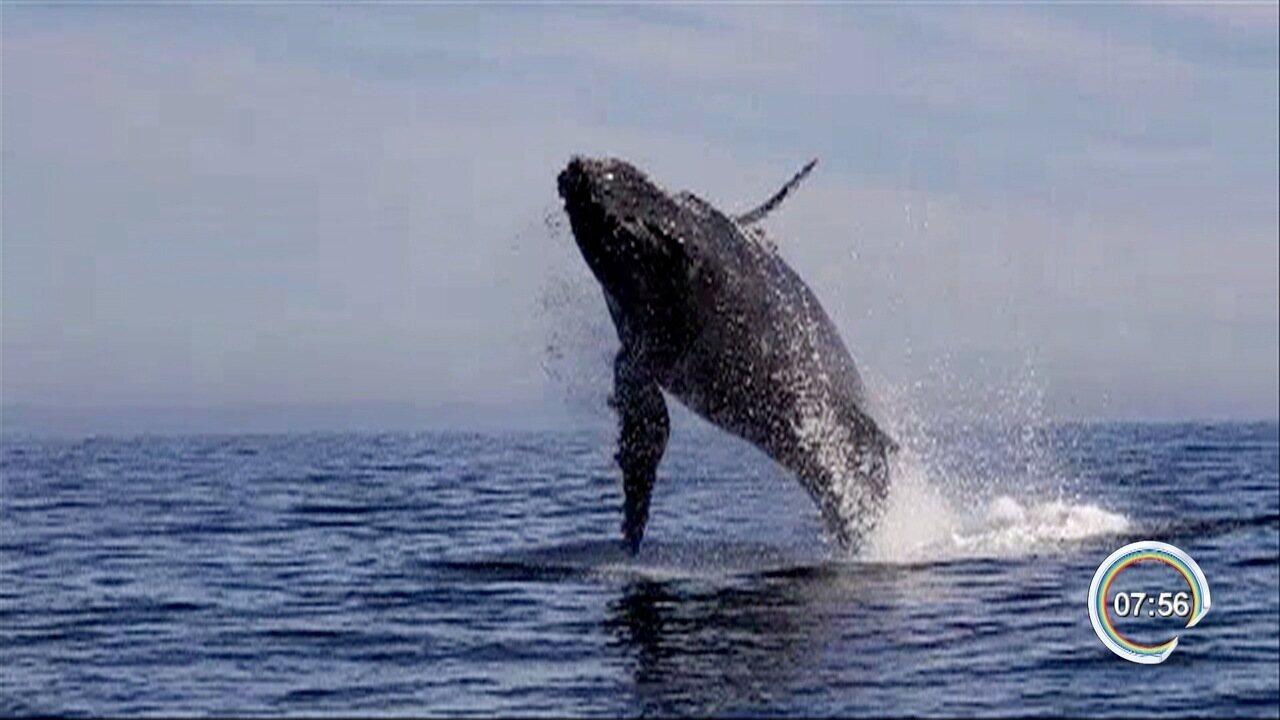 Baleia é flagrada por morador em Ilhabela