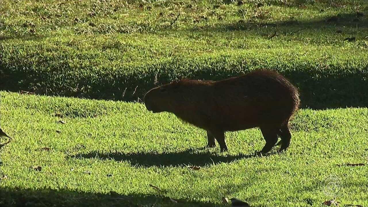 Aval da Secretaria de Meio Ambiente para abate de 40 capivaras gera polêmica em Itatiba