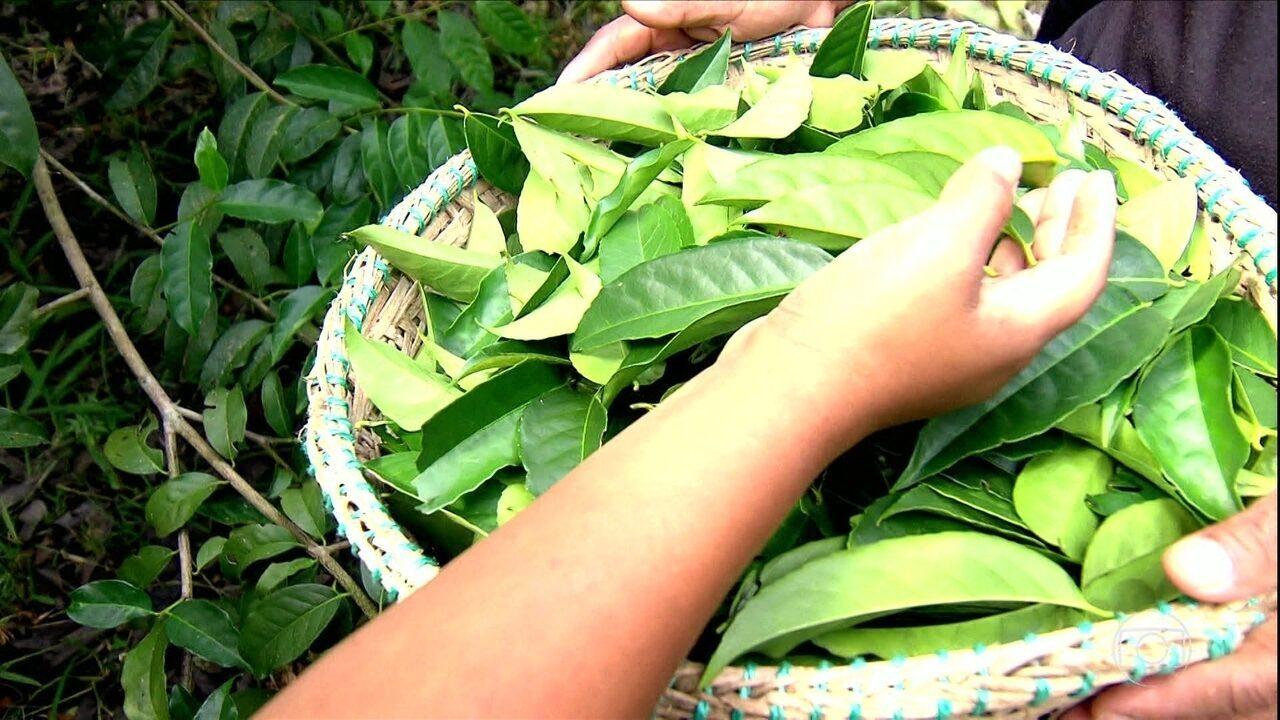 Conheça a guayusa, erva produzida na Amazônia que atrai celebridades e ajuda na preservação da floresta