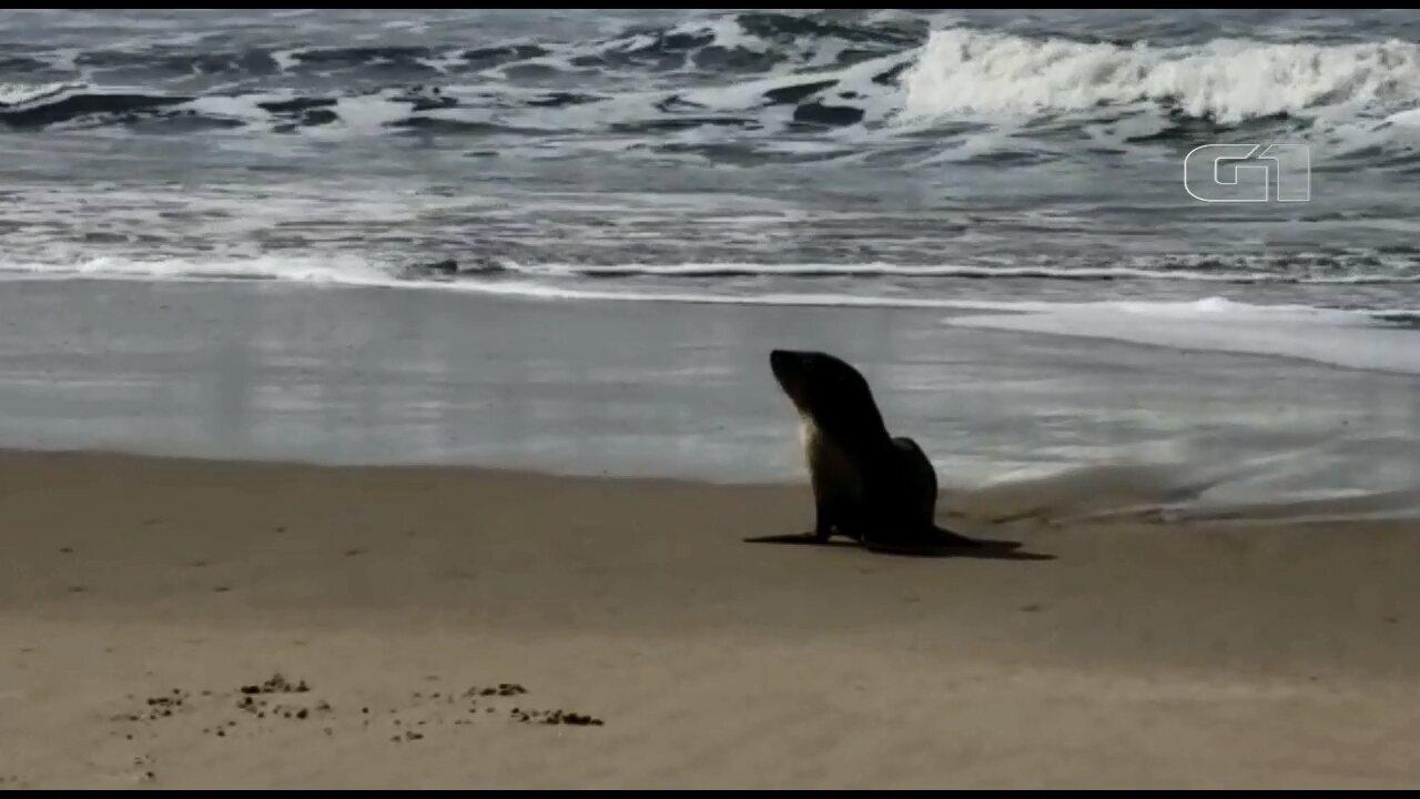 Lobo-marinho é flagrado em balneário de Matinhos