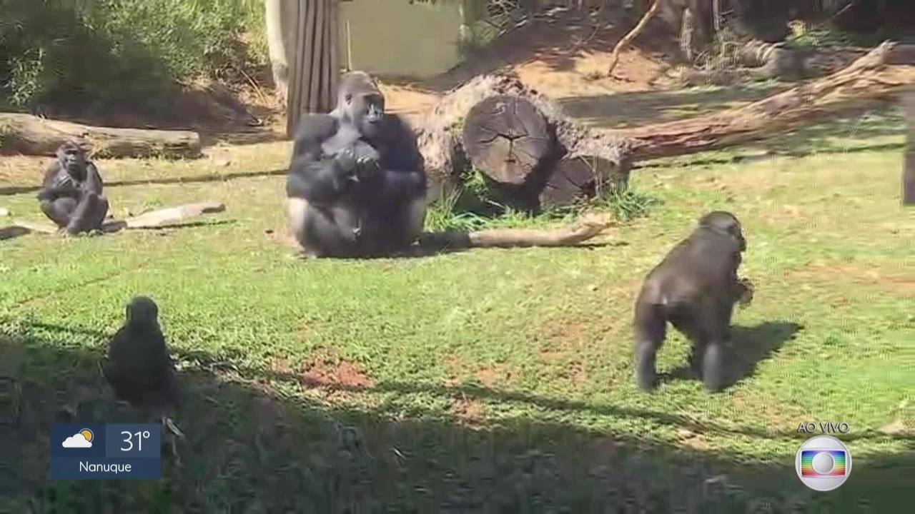 Gorilinha que nasceu em junho no Zoológico de BH é fêmea