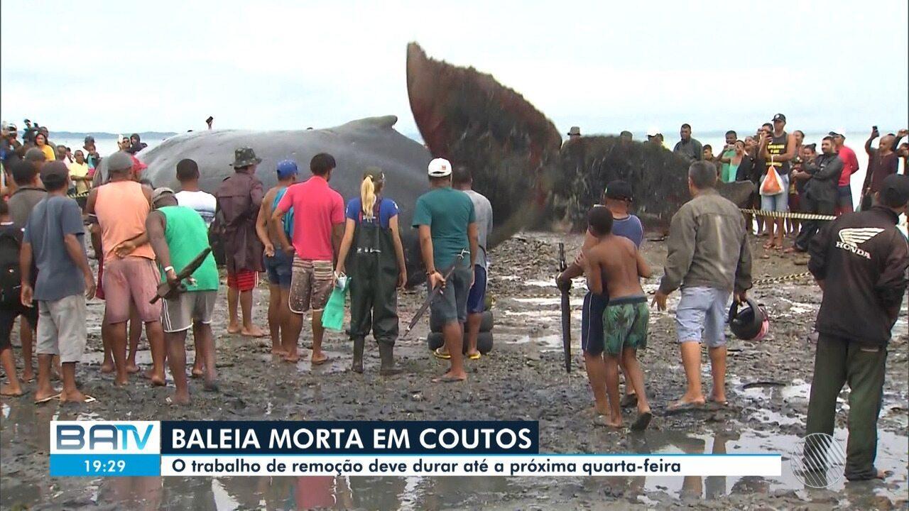 Cerca de 600Kg de carcaça de baleia morta na praia de Coutos foram retirados até o momento