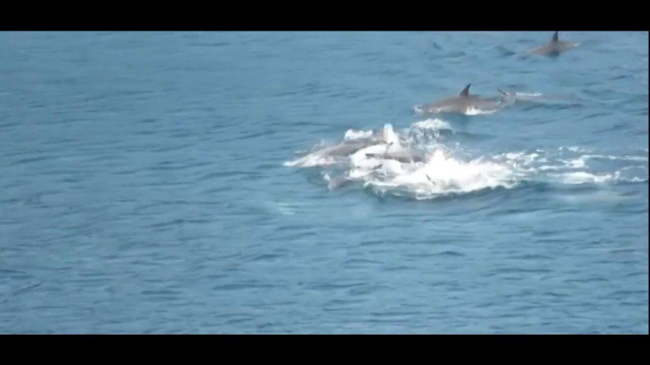 Comportamento raro de golfinhos é flagrado em Fernando de Noronha