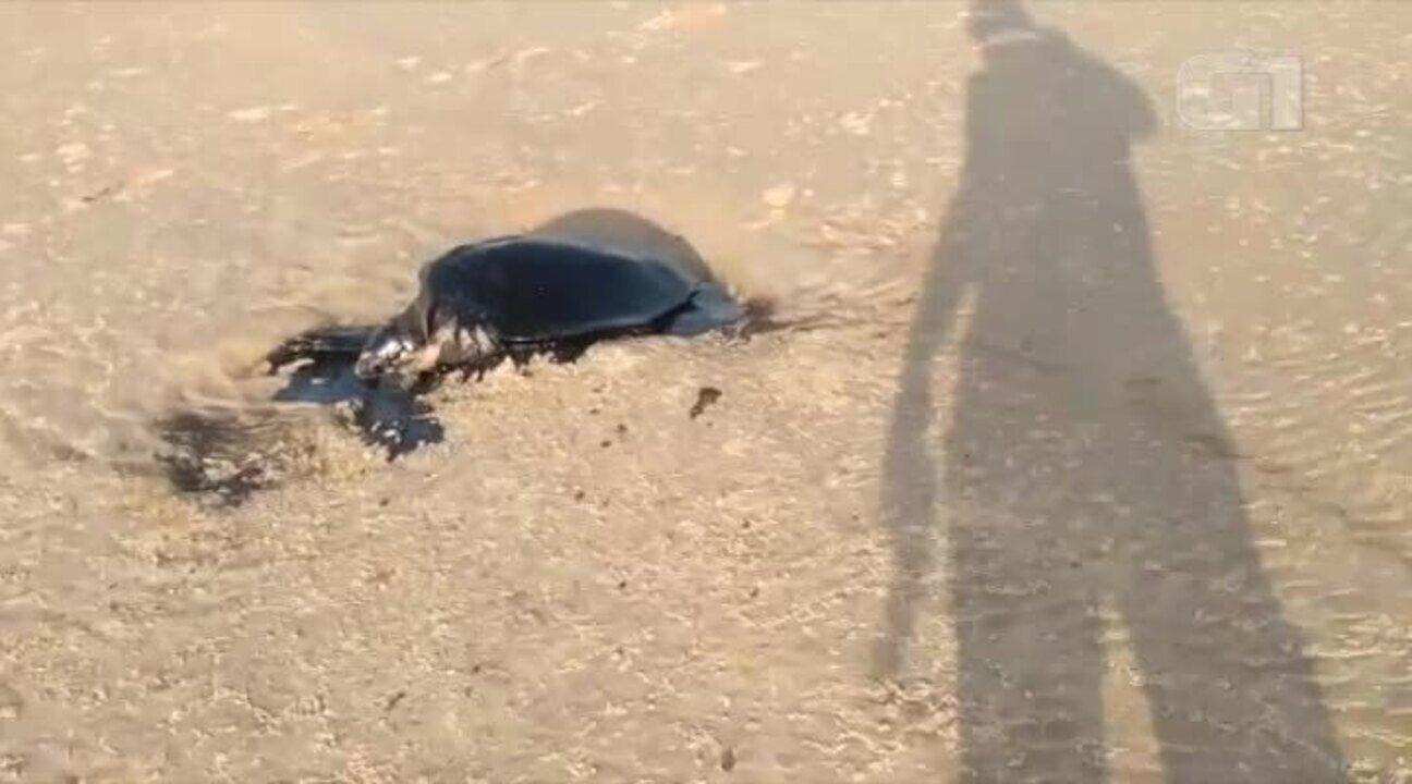 Tartaruga morre ao ser atingida por óleo no Delta do Parnaíba
