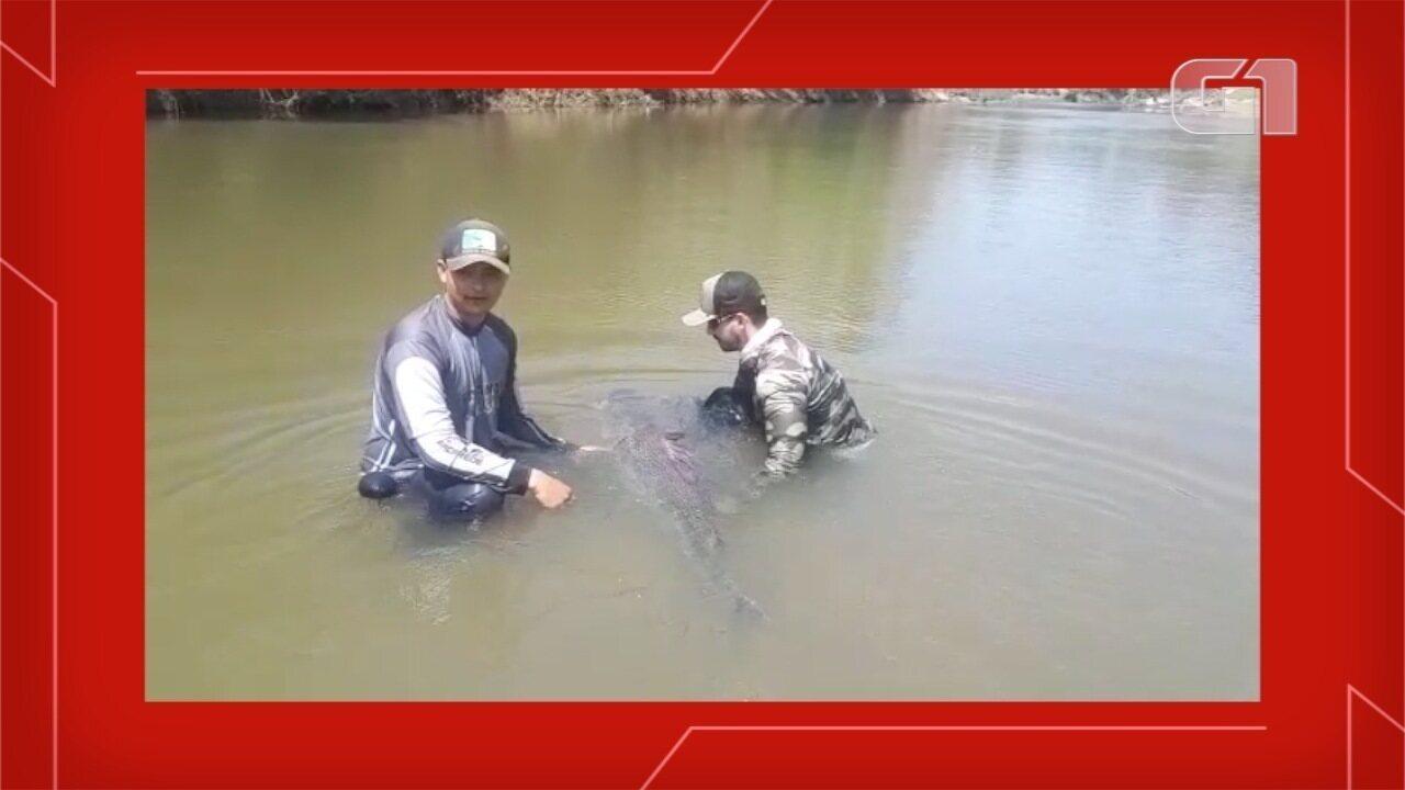 Amigos pescam peixe de 1,60 m e 50 quilos com carretilha em rio de MS.