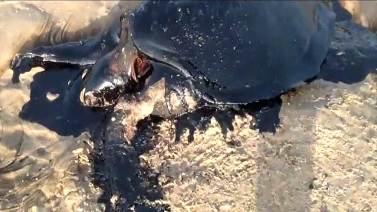 Manchas de óleo sujam praias e matam animais em praias do Nordeste