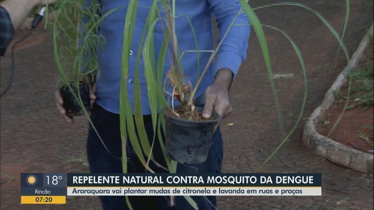 Contra a dengue: Araraquara vai plantar mudas de citronela e lavanda em ruas e praças