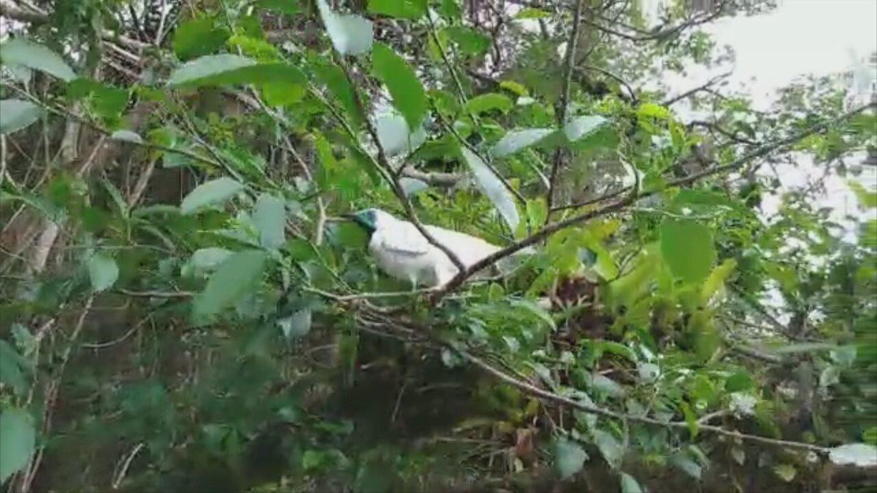 Após recuperação, araponga é solta na região da Lagoa do Peri, em Florianópolis