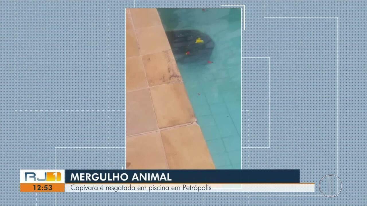 Capivara é resgatada de piscina em Petrópolis, no RJ