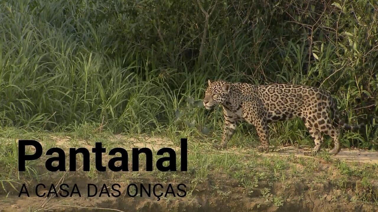 Pesquisador revela curiosidades sobre as onças do Pantanal