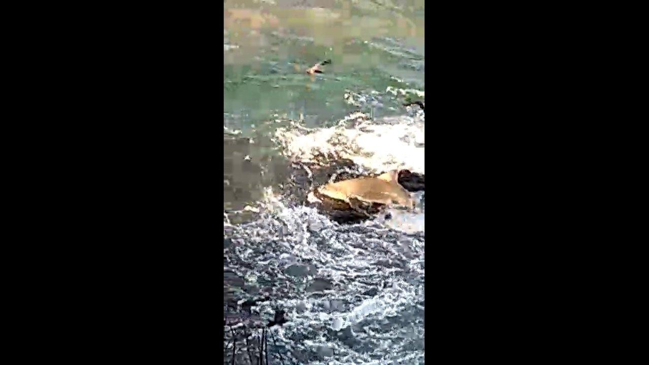 Tubarão sobe em pedras para pegar sardinhas em Noronha