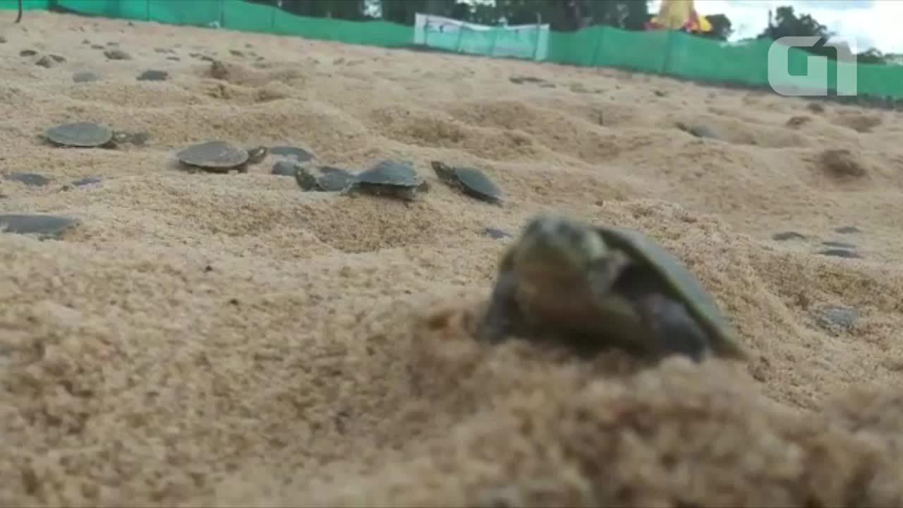Tartarugas são soltas no rio Guaporé