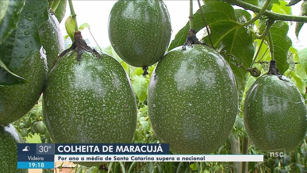 Cidades do Sul de SC se destacam na produção de maracujá